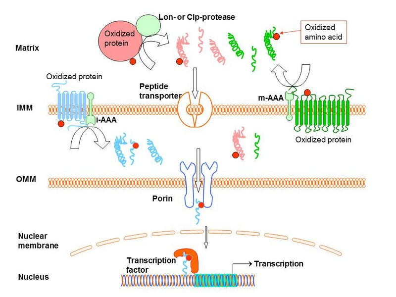 Proof of concept - Retrograde signalling by oxidized peptides